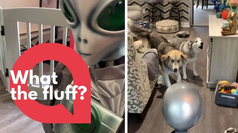 Hilarious video shows two half breed huskies react to an animatronic Halloween decoration