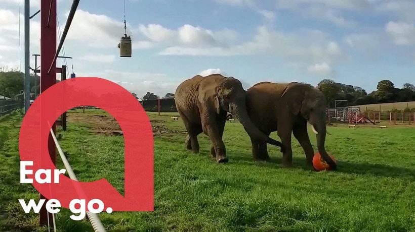 This video shows elephants appearing to play football at a zoo - with a giant PUMPKIN