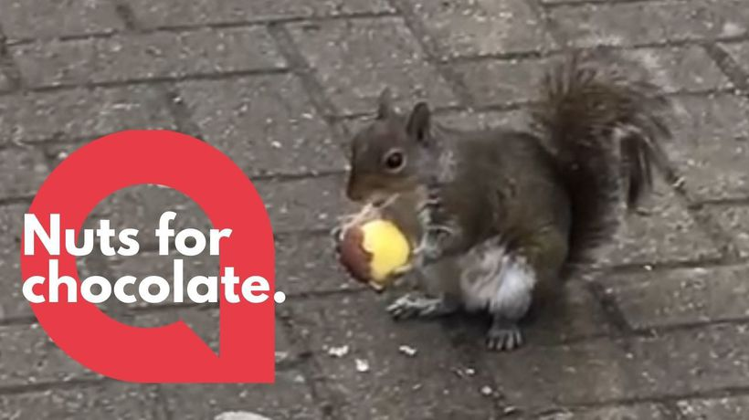 Cheeky little squirrel happily enjoying the chocolate shell of a Kinder Egg