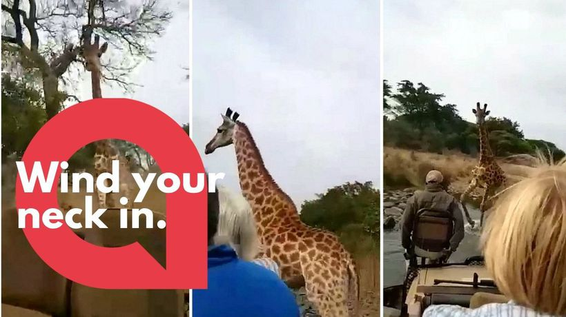 Scary moment angry giraffe chased truck of tourists off its patch