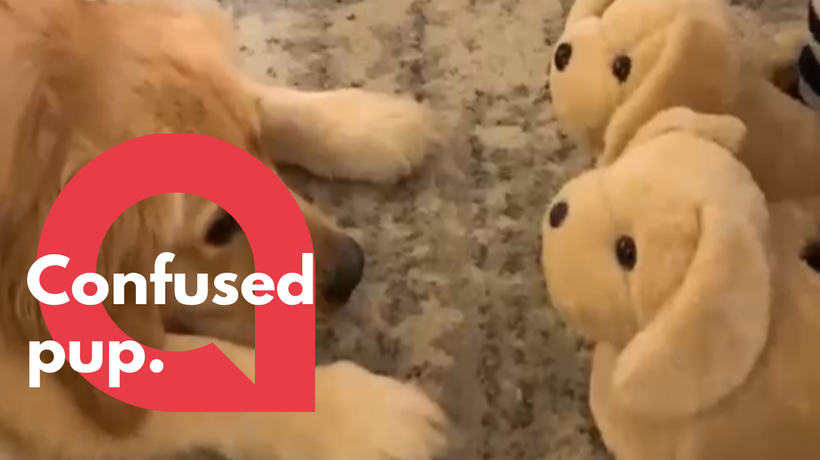 Adorable moment golden retriever mistakes dog slippers for puppies