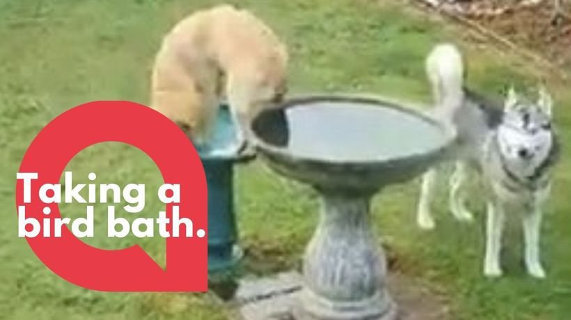 Golden retriever rejects her doggy pool and tries to go swimming in a birdbath instead