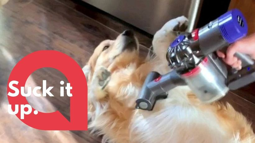 Meet Hopper the adorable golden retriever who loves being VACUUMED