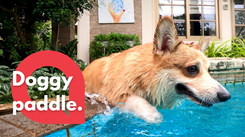 Adorable corgi who can't quite master the art of climbing into pool