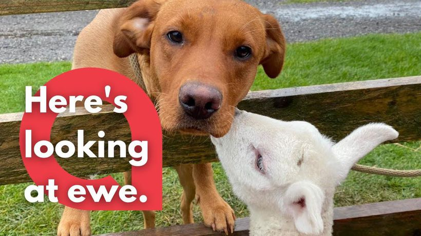 Footage shows the amazing bond between a labrador and a little lamb