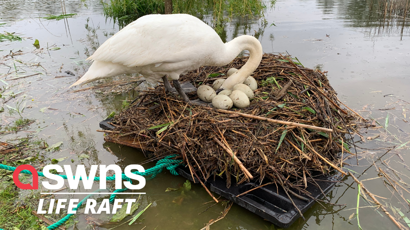 Britain's 'unluckiest swan' hatches after wildlife enthusiast builds makeshift raft to save eggs
