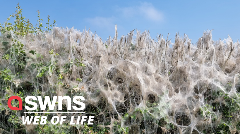 Ghoulish 100-ft-long caterpillar webs have blanketed a rural road near Bawtry, UK