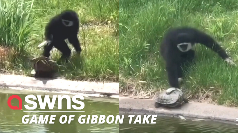 Watch the hilarious moment a cheeky gibbon pushes unsuspecting turtles into a pond