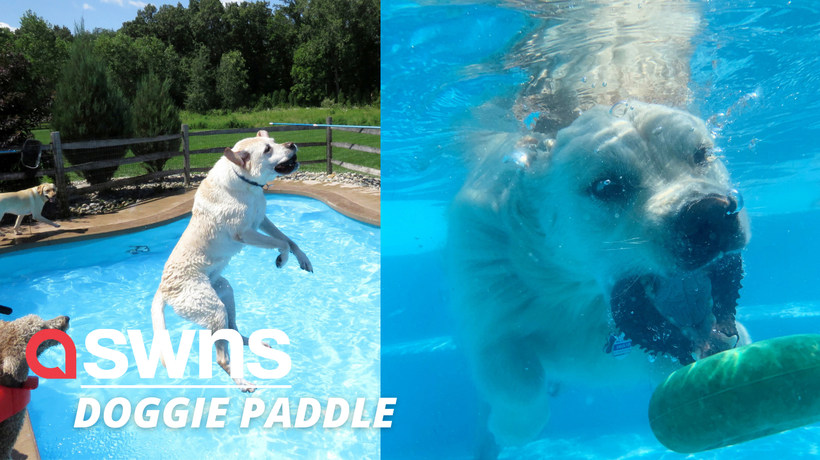 Adorable video shows 39 puppies leaping into a swimming pool to cool off on a hot day!