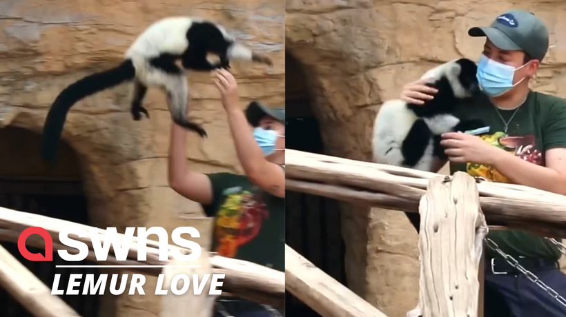 Adorable video shows lemurs launching themselves into their keepers arms in US
