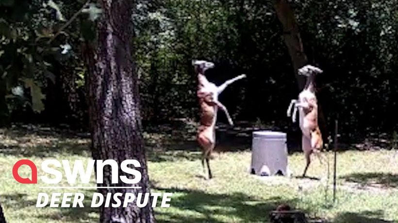 Two deers engage in the most elegant 'girl fight' you have ever seen in Austin, Texas