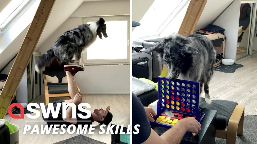 A dog owner has taught his Australian Shepherd a variety of impressive tricks