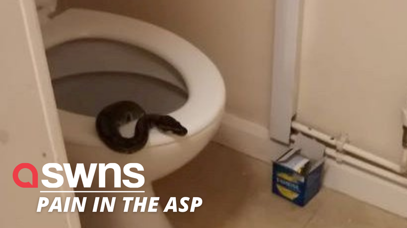 UK woman was shocked to find massive 4ft python in her TOILET