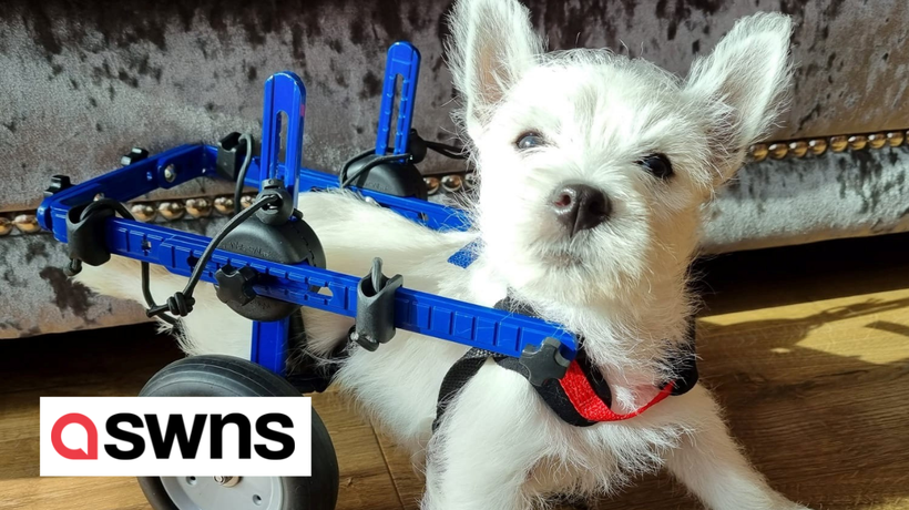 Strangers raise £5,000 to buy paralysed pooch a wheelchair