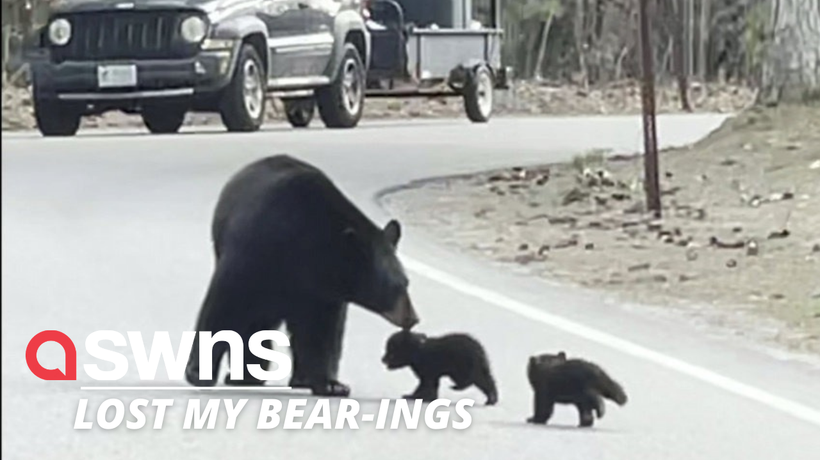 A mother bear and her two cubs stopped traffic as they crossed the road together (RAW)