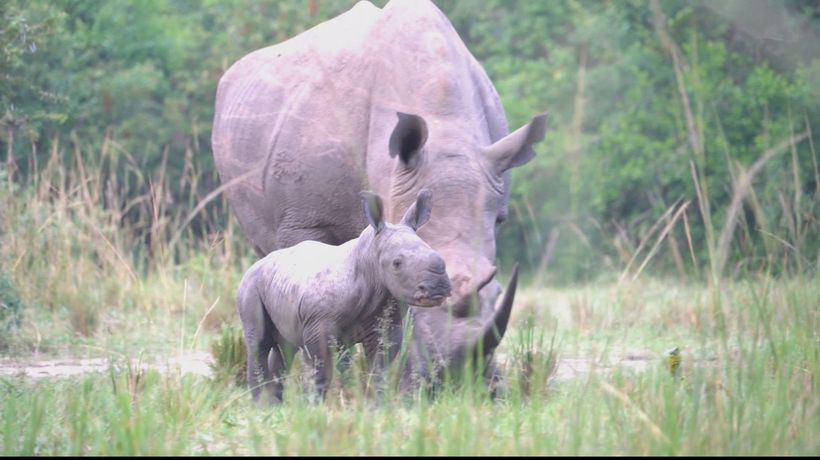 Kenya scientists try to save rare northern white rhinos