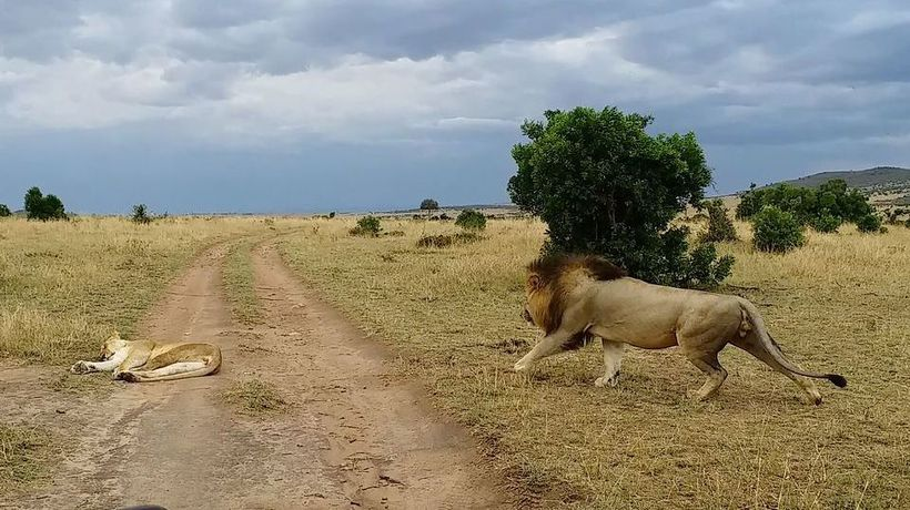 Lioness responds with a klap after being rudely awakened by cheeky male