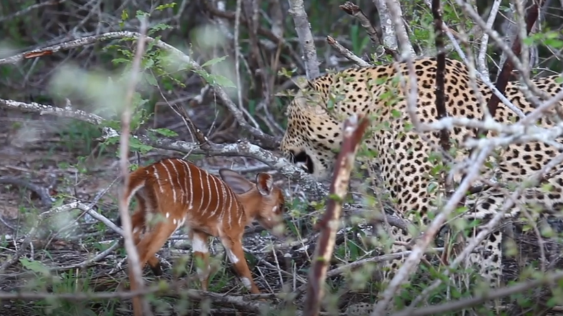 Latest Sightings: Baby nyala goes head to head with a leopard