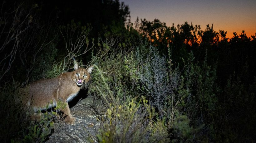 Elusive Hermes the caracal spotted on the slopes of Table Mountain in Cape Town