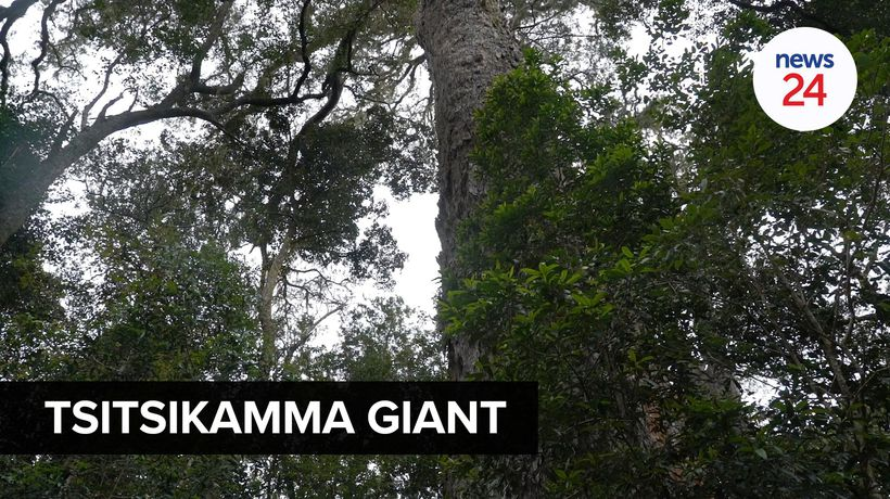 WATCH | Department of tourism revives centuries-old Big Tree site in Tsitsikamma