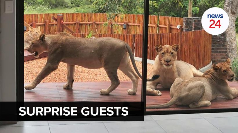 WATCH | There are lions on my stoep! Man comes home to find uninvited guests lounging on the patio
