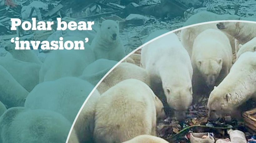 State of emergency over a polar bear 'invasion'