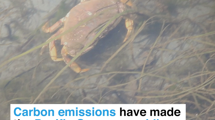 Carbon emissions have made the Pacific Ocean so acidic it's dissolving the shells of baby crabs