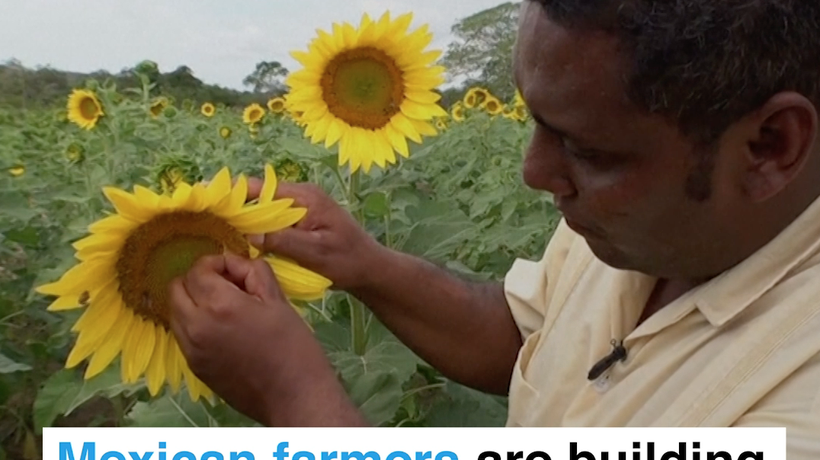 Mexican farmers are building a bee sanctuary with sunflowers