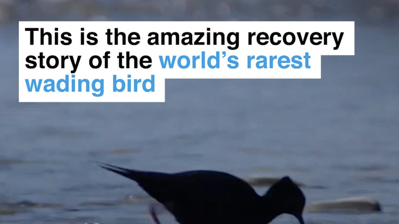 This is the amazing recovery story of the world's rarest wading bird