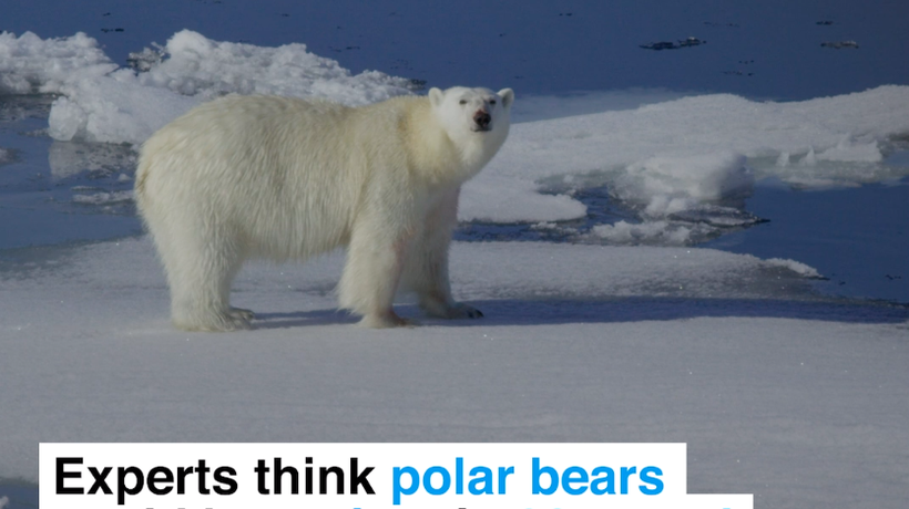 Experts think polar bears could be extinct in 80 years' time because of climate change