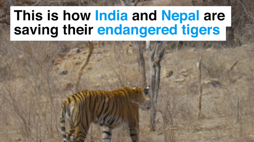 This is how India and Nepal are saving their endangered tigers