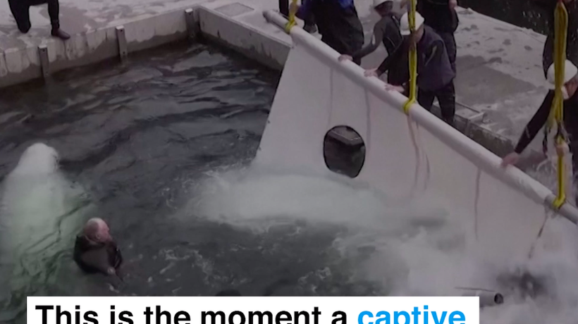 This is the moment a captive beluga whale returns to the sea after a lifetime of captivity