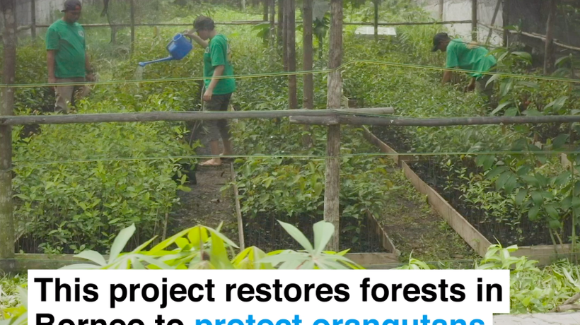 This project restores forest in Borneo to protect orangutans and gibbons, and empower locals