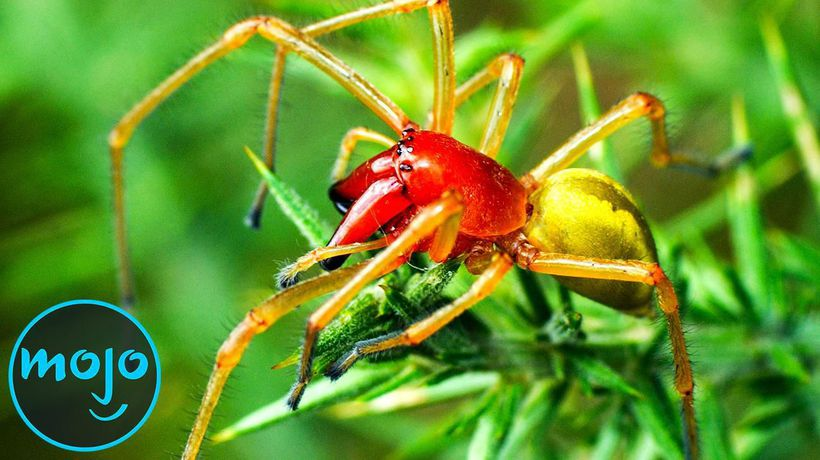 Top 10 Most Venomous Spiders On Earth