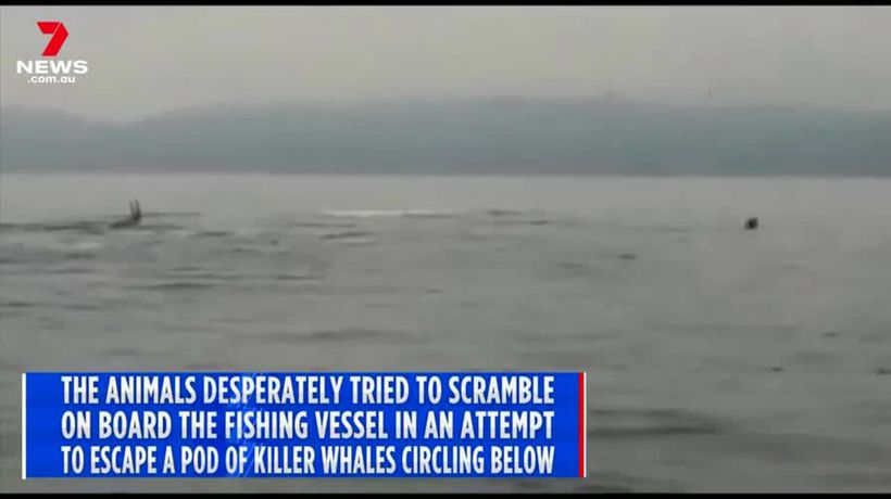Sea lions nearly sink boat off Chile