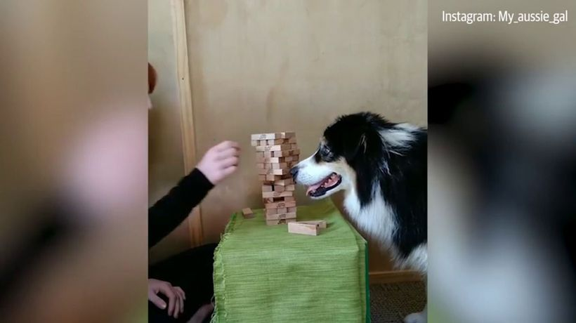 Dog shows off incredible jenga skills