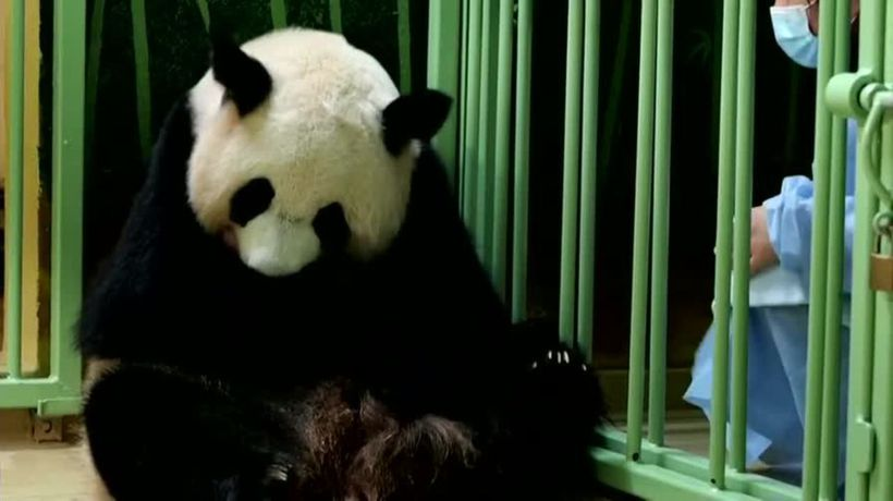 French zoo celebrates the arrival of twin panda cubs