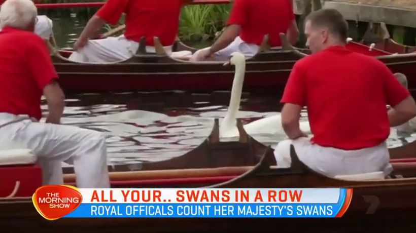 Queen's swans counted in traditional census