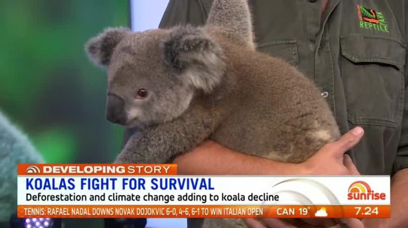 Calls for action to save the 'functionally extinct' koala