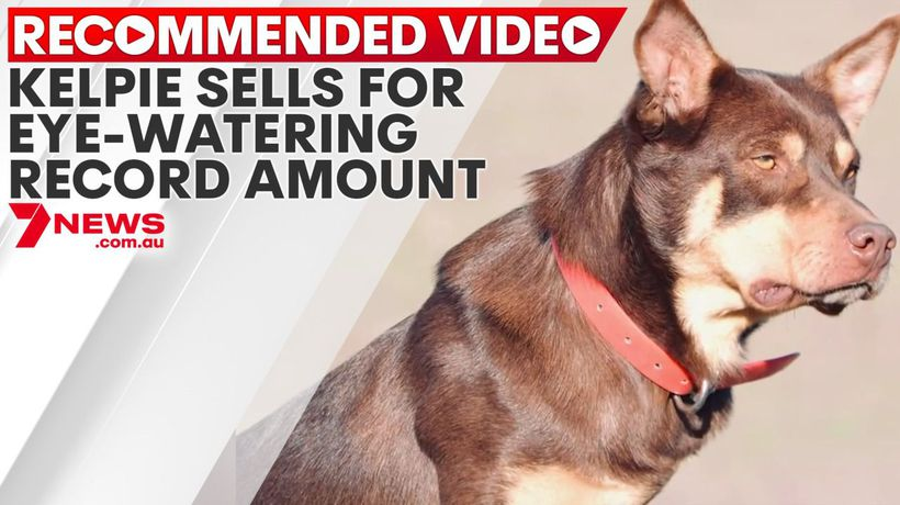 Kelpie sells at auction for eye-watering amount