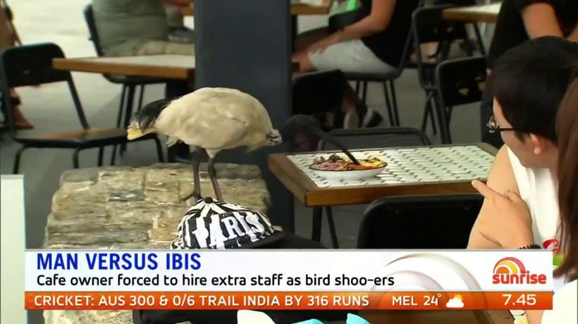 Gold Coast Cafe Owner Hires Staff As Bird Shoo Ers