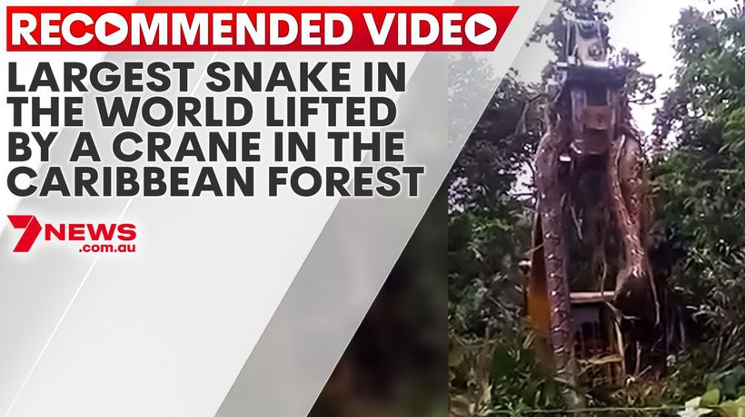 Largest snake in the world lifted by a crane in the Caribbean forest