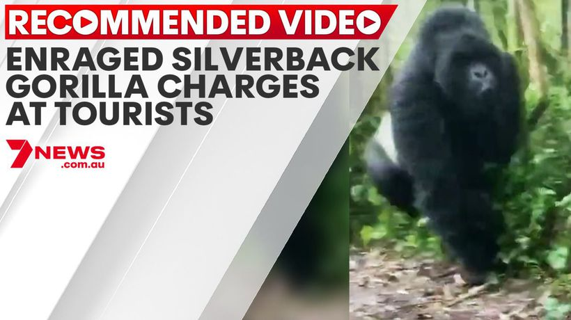 Enraged silverback gorilla charges at tourists