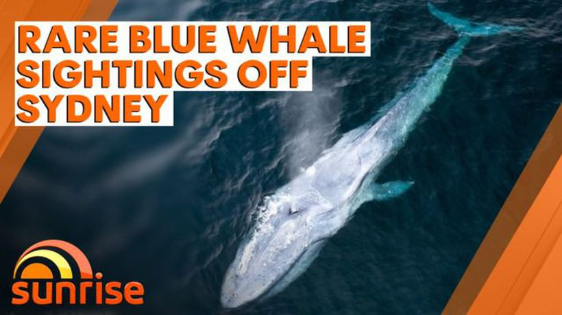 Rare blue whale sightings off Sydney