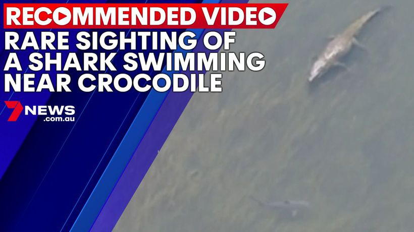Rare sighting of a shark swimming near crocodile
