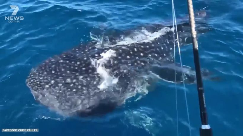 Cairns fishers encounter whale shark