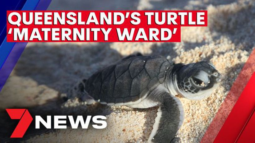 Queensland's 'maternity ward' for turtles