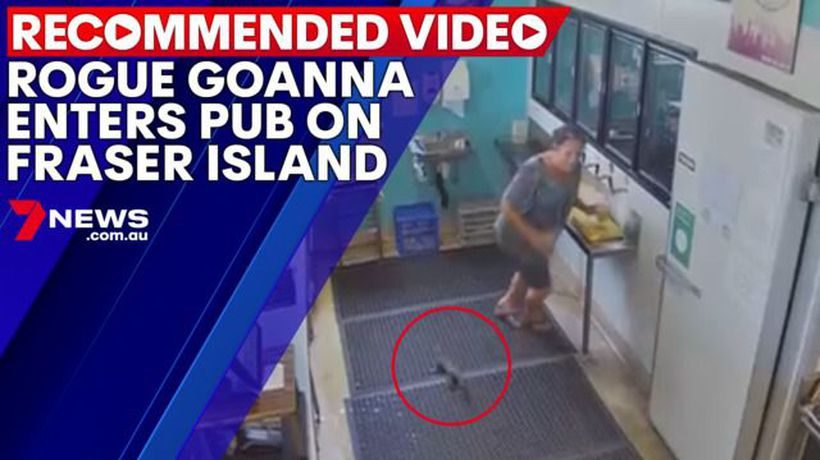 Rogue goanna enters pub on Fraser Island