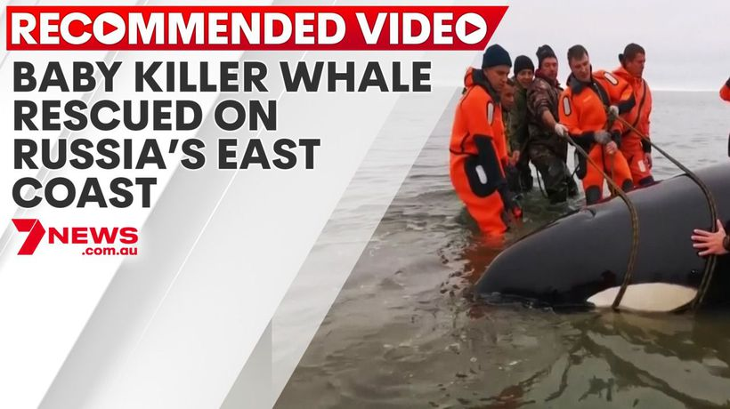 Baby killer whale rescued on Russia's east coast