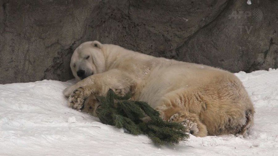 Xmas trees gifted to animals at Moscow zoo
